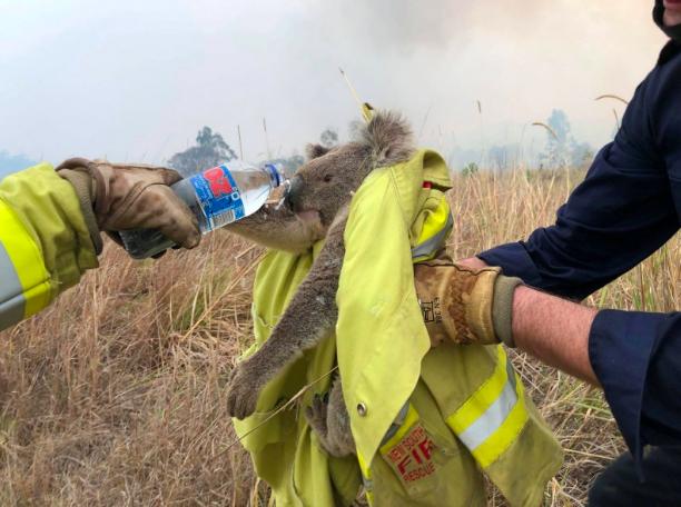 澳洲野火不灭 新南威尔斯州30%无尾熊死于火海