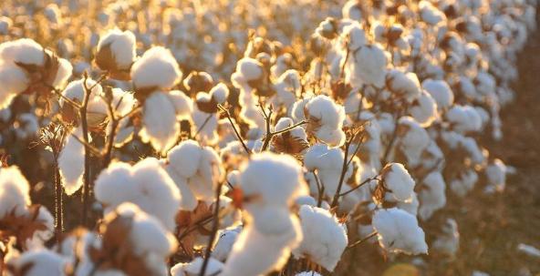 新州优质棉花杏仁农场易手 成交价1.2亿澳元