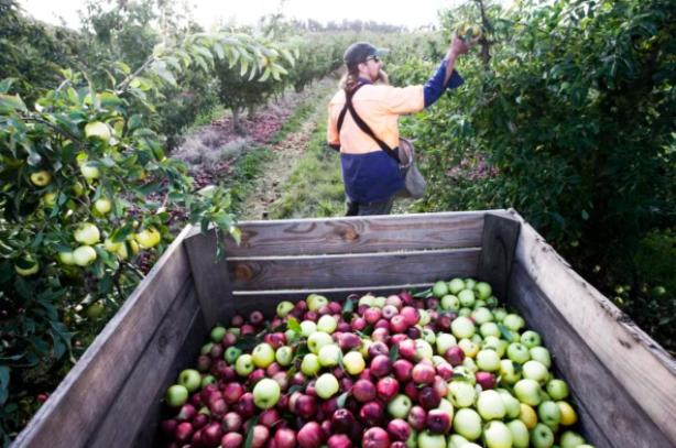 疫情下海外工人无法入境 现有农场工人要超负荷工作了