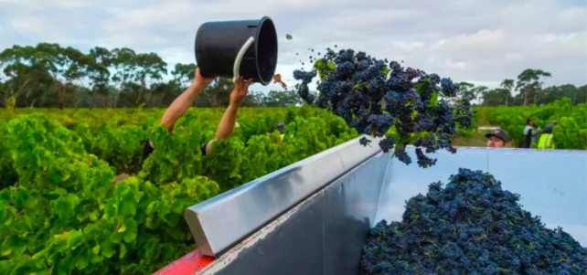 没了中国市场,澳洲葡萄酒业的活路在哪?