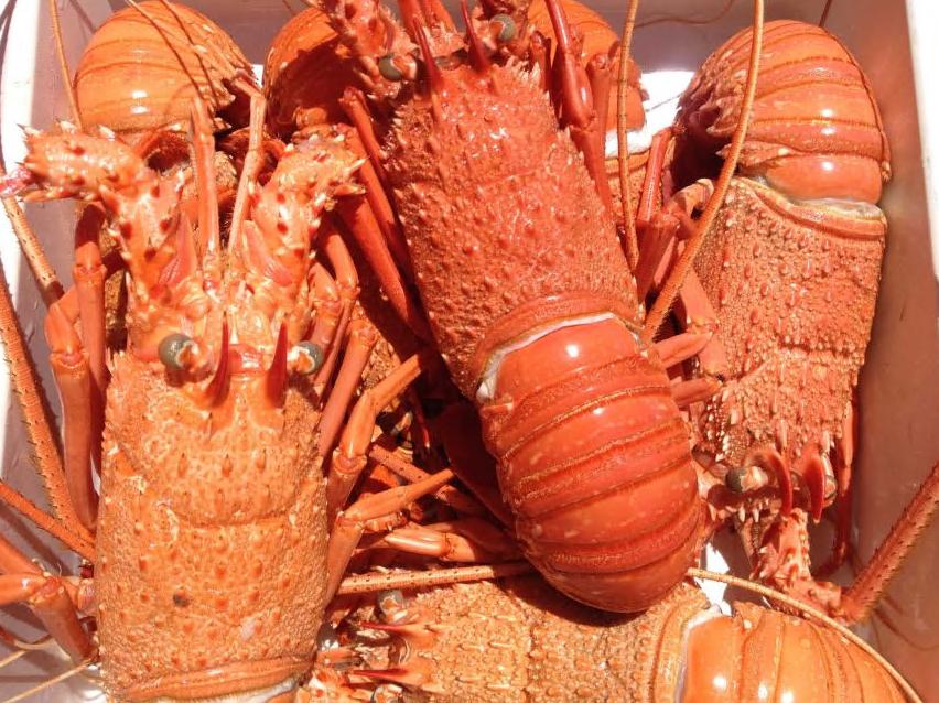 中国香港居民抢购澳洲半价龙虾